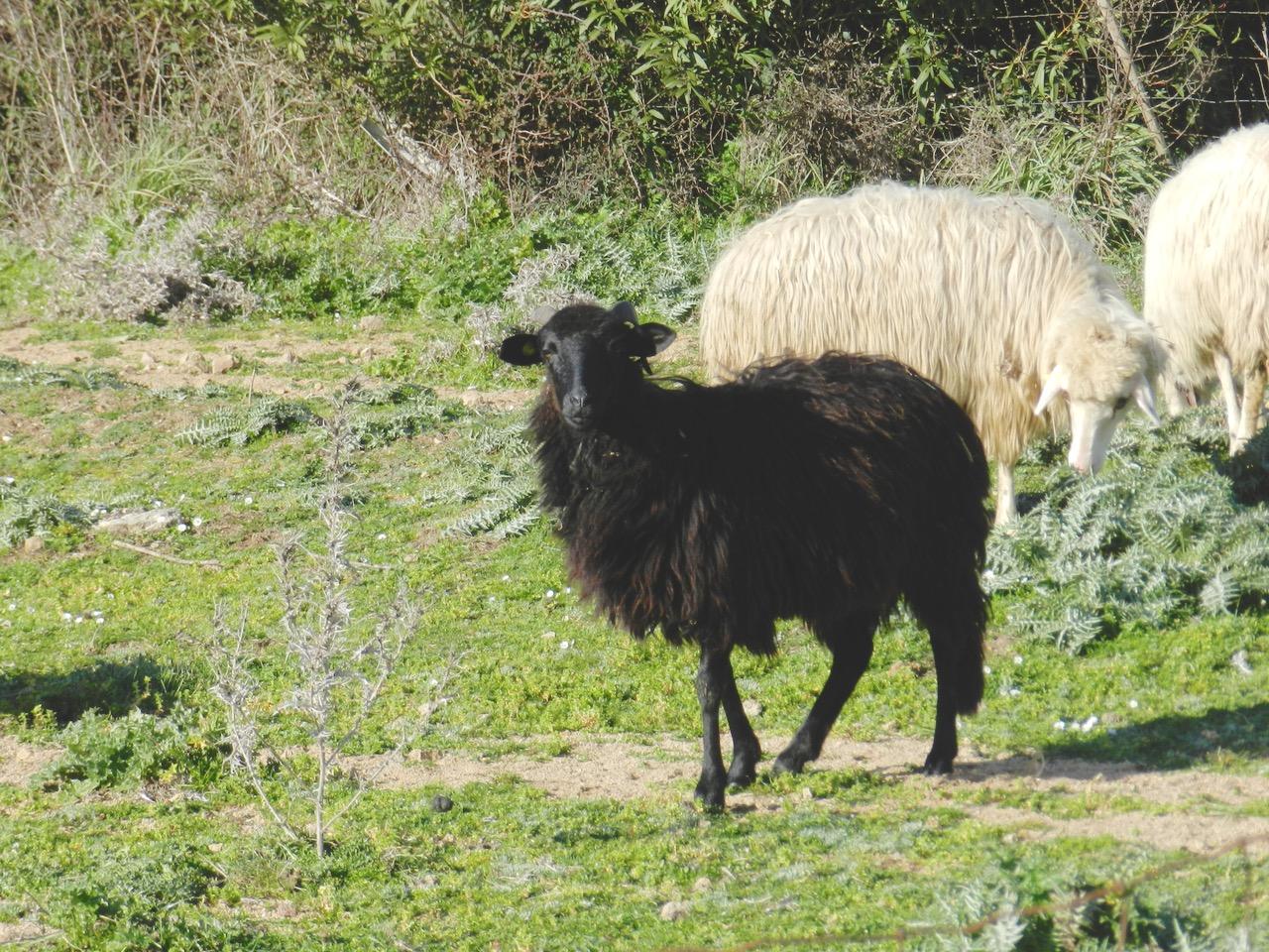Schwarzes Schaf: pecora nera di Arbus