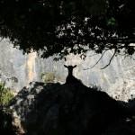 Ziege auf einem Fels