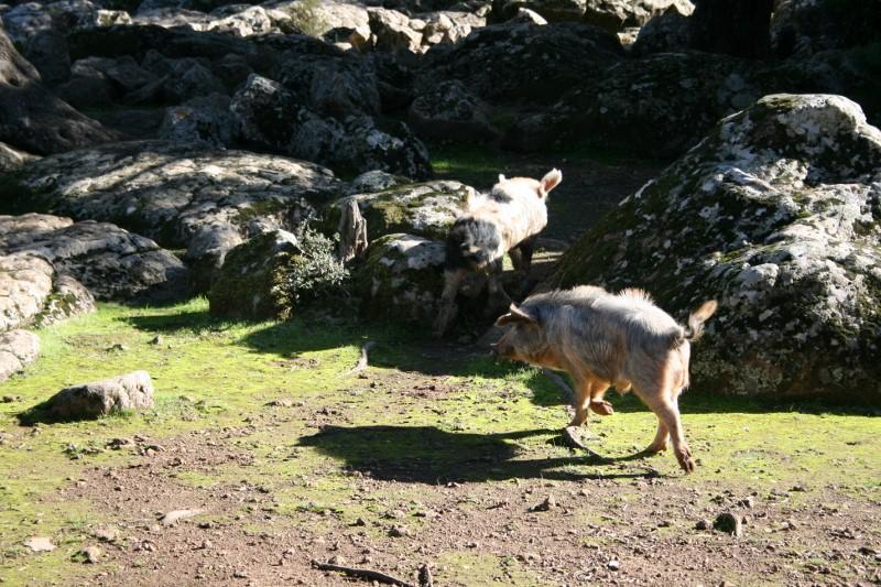Wild gewordenes Schwein