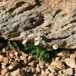 Gänseblümchen an Fels