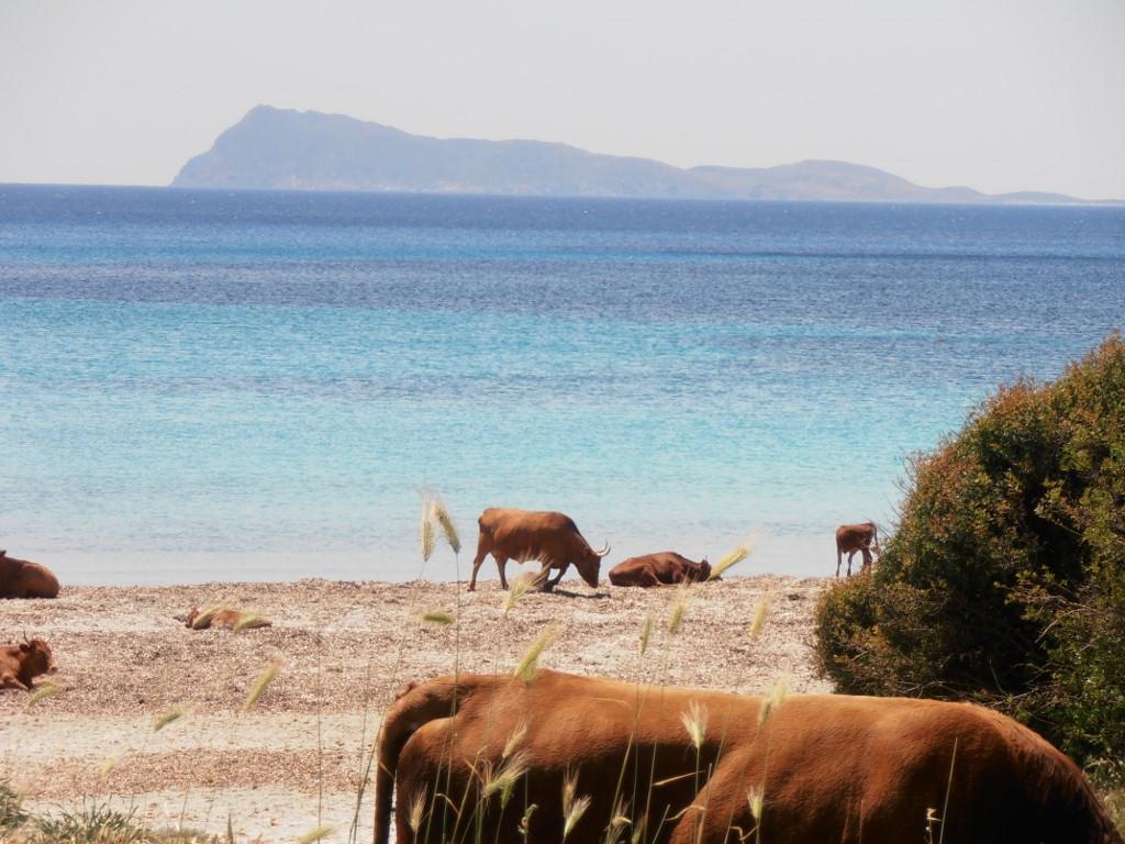 Kühe an der Cala Piscinnì