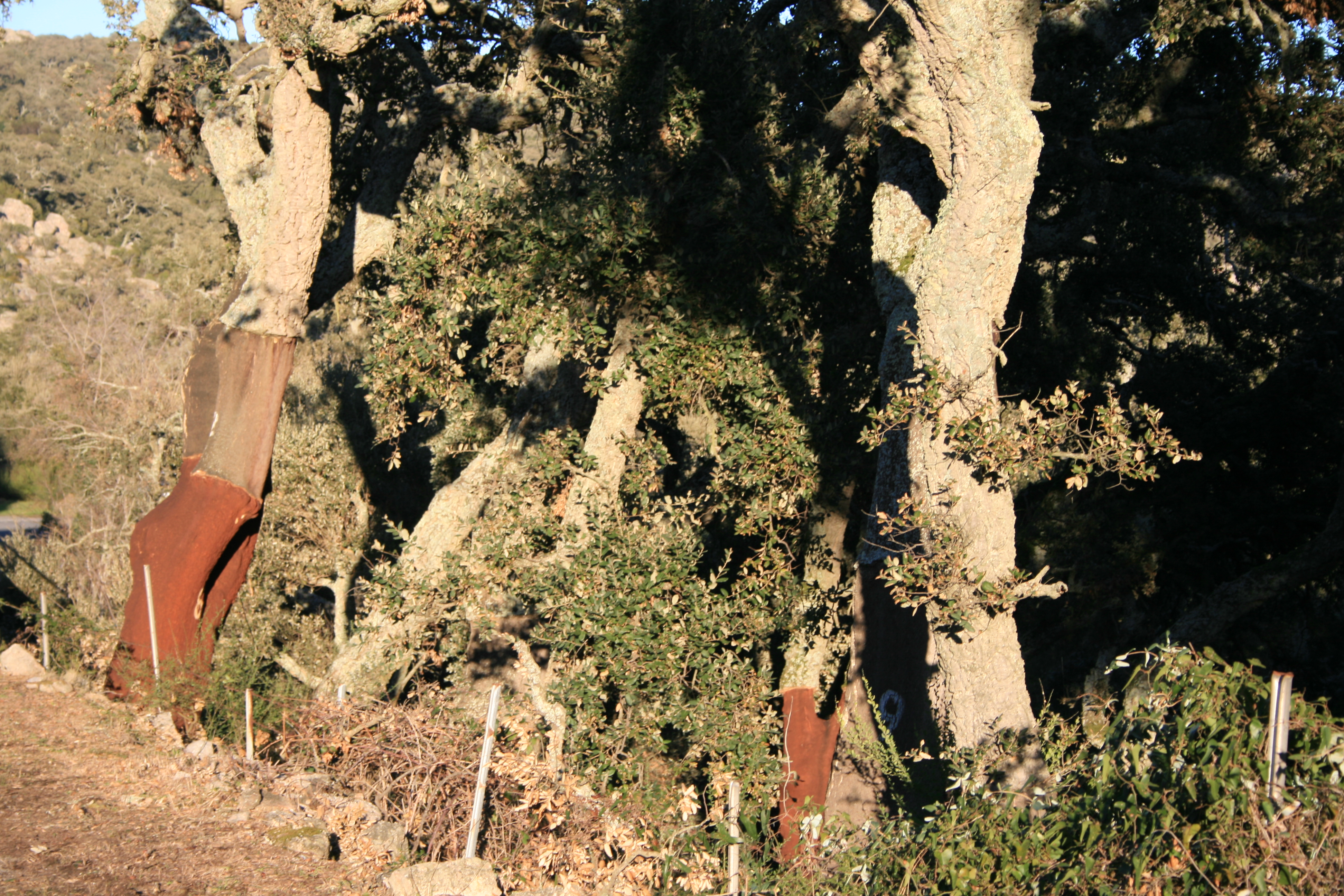 Korkeichenwald bei Calangianus
