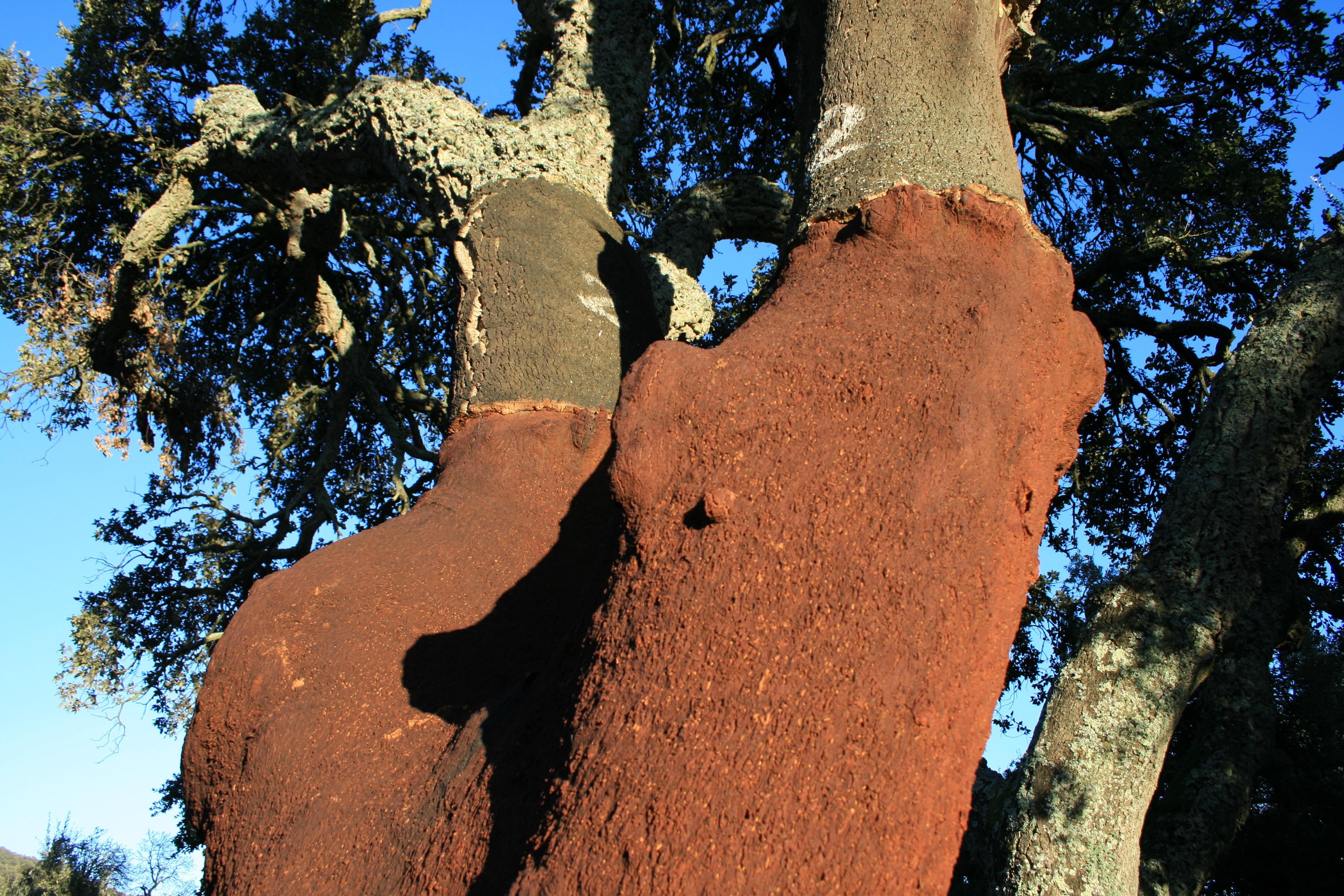 Korkeiche - quercia da sughero