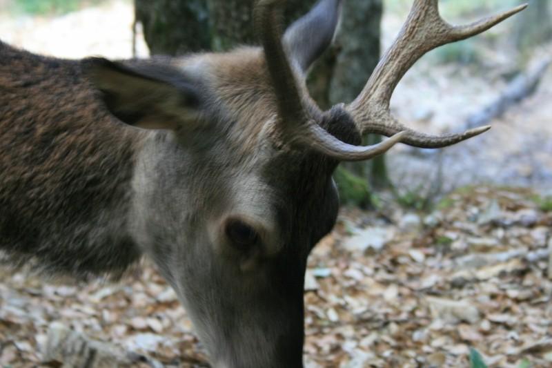 Ein etwa vierjähriger Cervo sardo