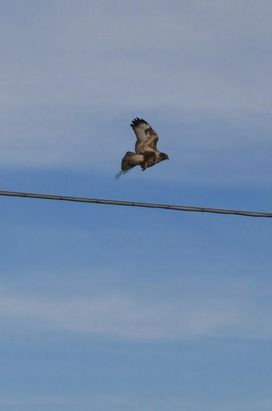 Greifvogel im Abflug