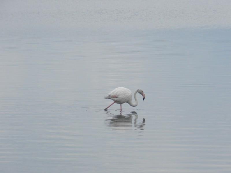 Flamingo im Stagno di Santa Gilla, Cagliari