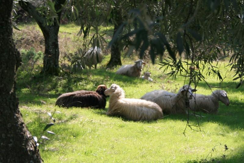 Schafe im Grünen