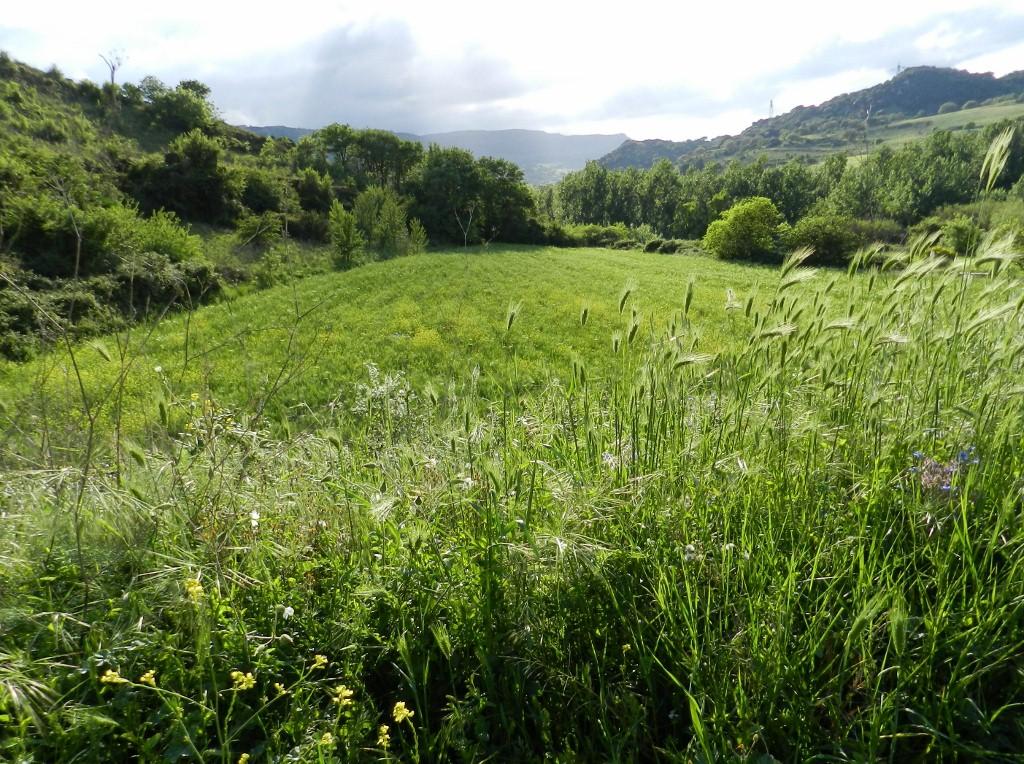 Grüne Wiese im Meilogu