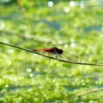 Das Feuchtgebiet ist ein Traum-Wohnort für Libellen