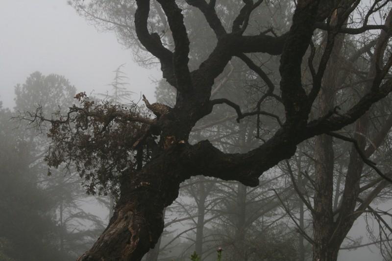 Nebel im Steineichenwald