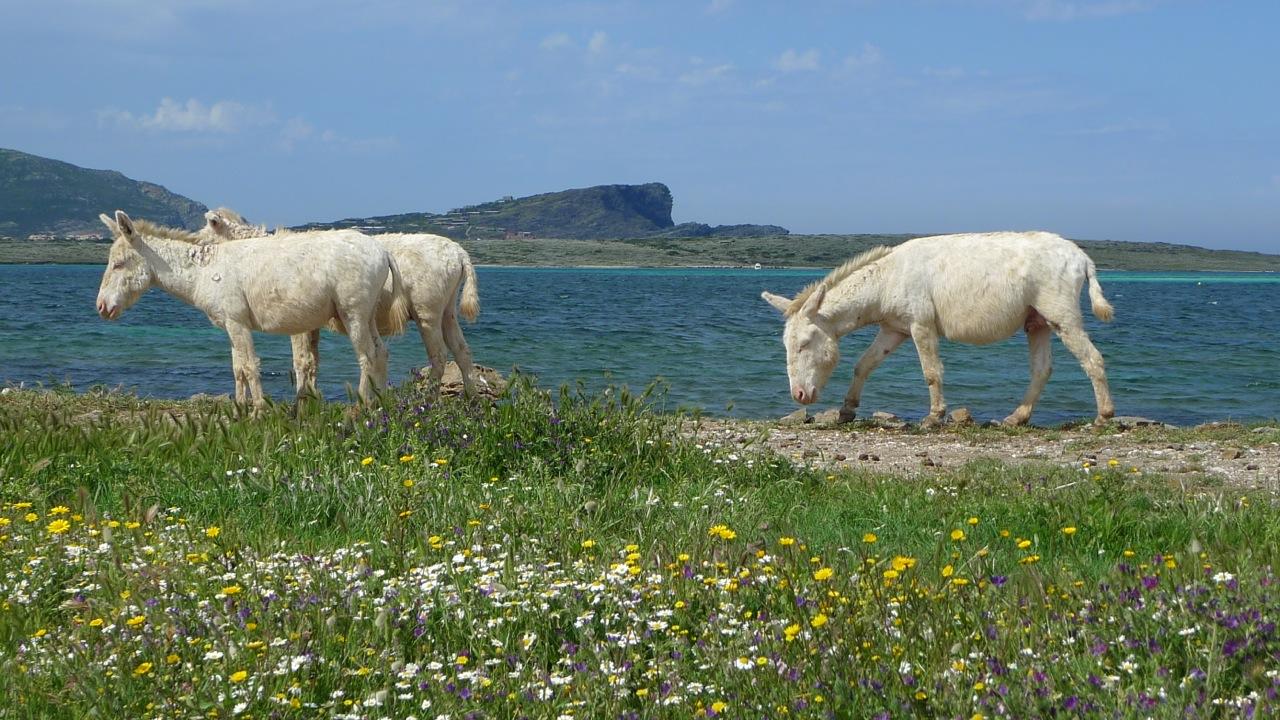 Esel, ital.: Asino, auf Asinara