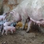 Kitepause bei glücklichen Schweinen im B&B Il Nido