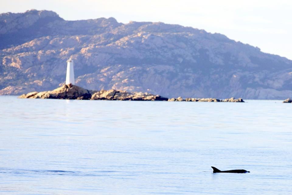 Delfine vor Caprera