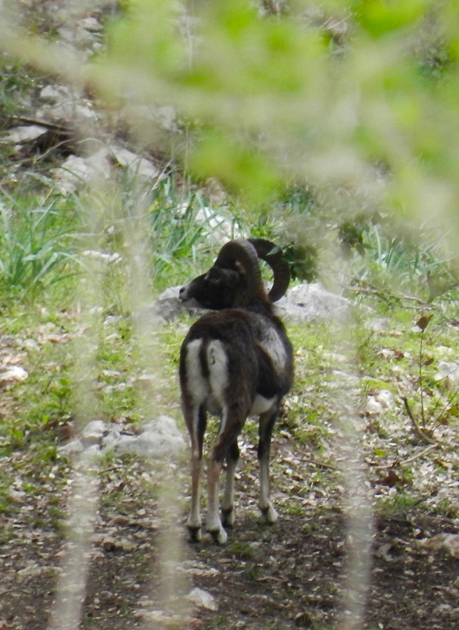 Wildlife: Mufflons (zB im Valle Lanaitto, Monte Albo, Monte Sette Fratelli)