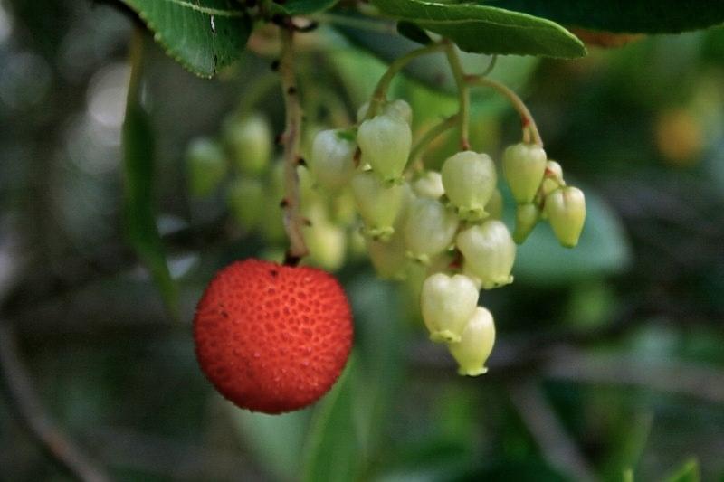 Corbezzolo: Frucht und Blüten des Erdbeerbaums