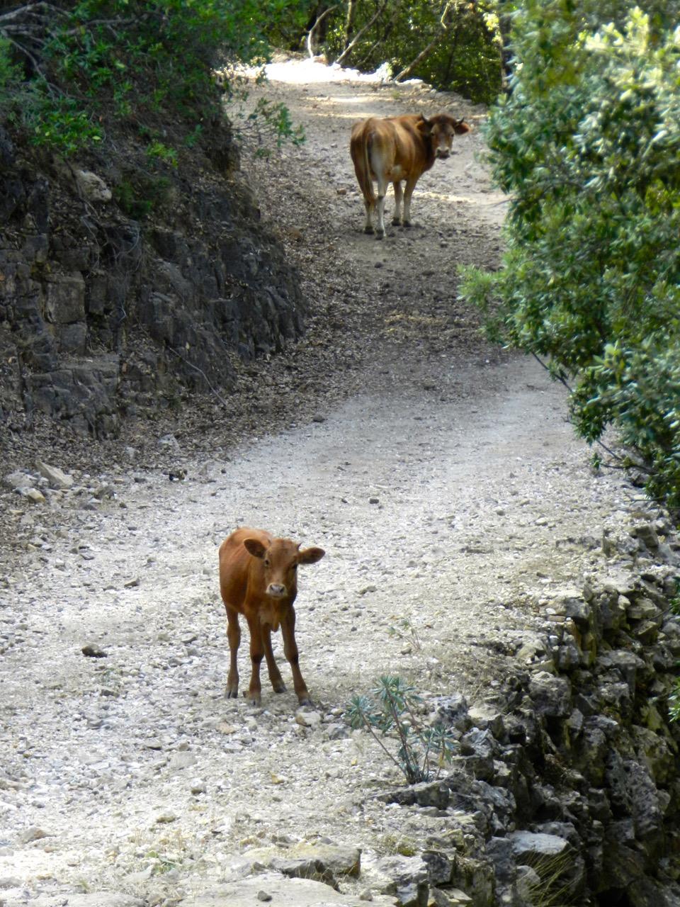 Kühe auf dem Trekkingpfad