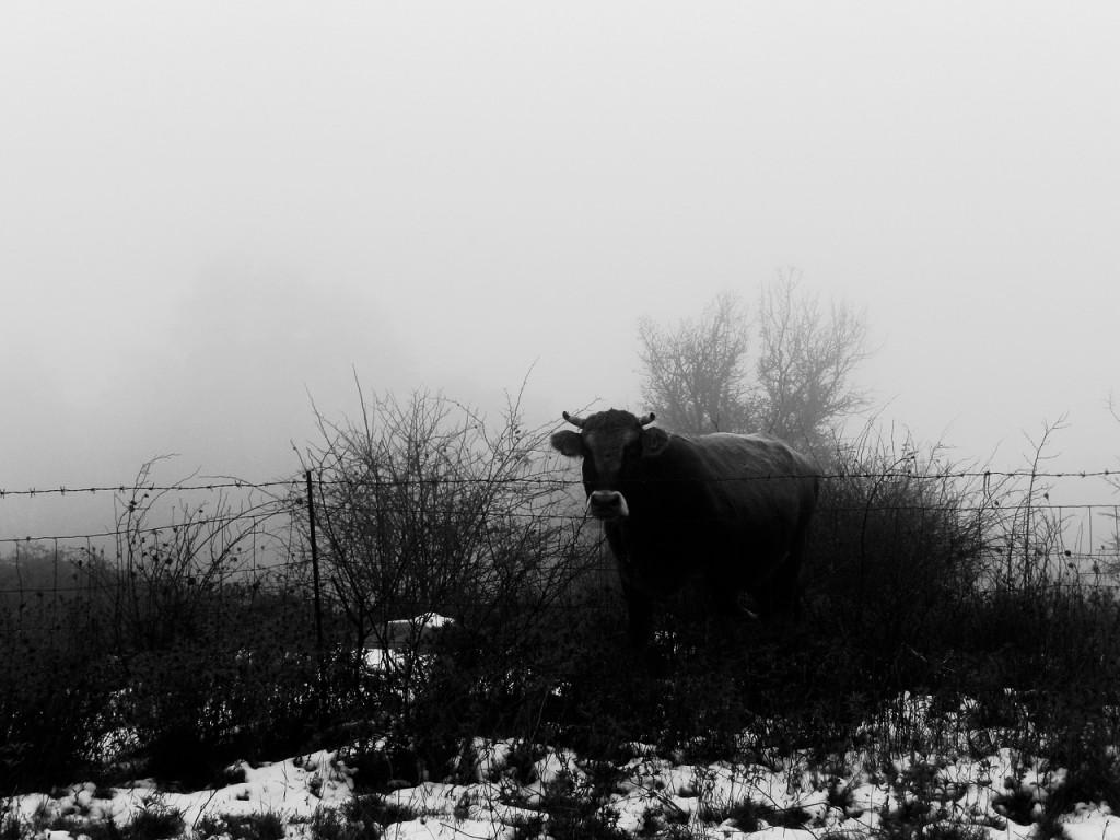 Ein alter Stier- und Götterkult?