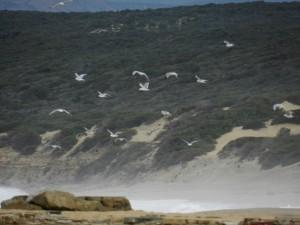 Möwen und ein schwarzes Schaf haben den Strand für sich allein