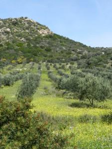 Zu Beginn der Strecke ein Olivenhain auf einer Frühlingswiese