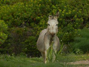 Graue Esel gibt's auch viele - hier einer mit Klappohr!