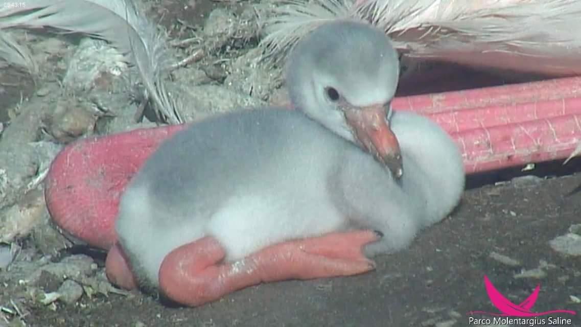Flamingo-Küken - Foto: Parco Molentargius Saline