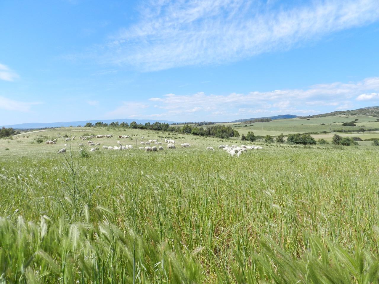 Schafe auf den Wiesen bei Siamanna