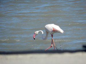 Flamingo (fenicottero) im Parco Molentargius Saline