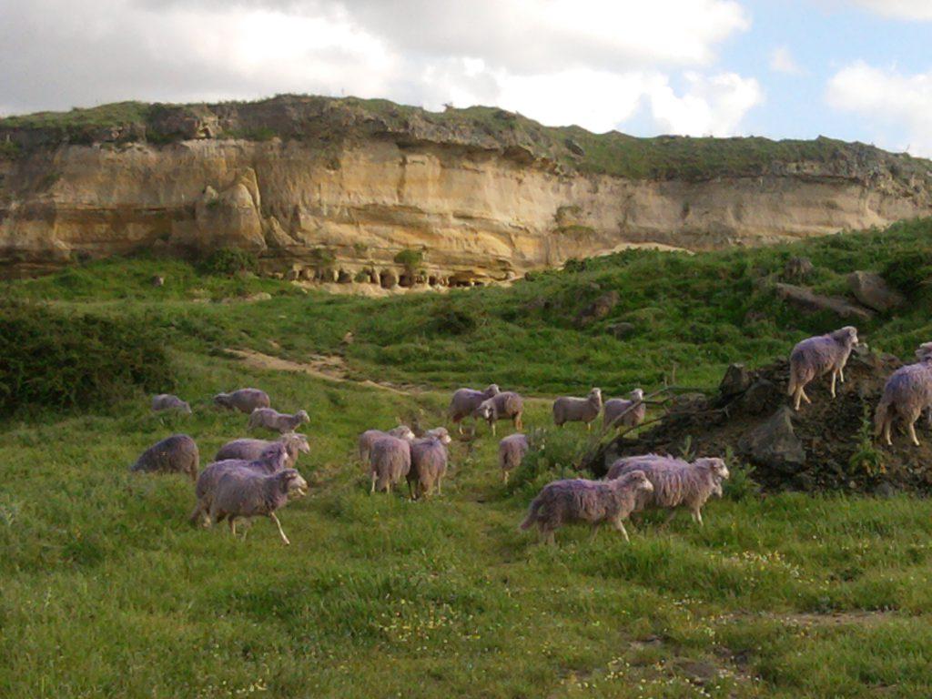 Kuriosum: Lila Schafe auf Sardinien!