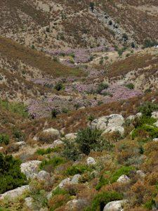 Trekking am Monte Genis, blühender Oleander im Flussbett