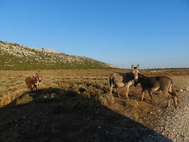 Esel auf dem Campu Oddeu bei Urzulei