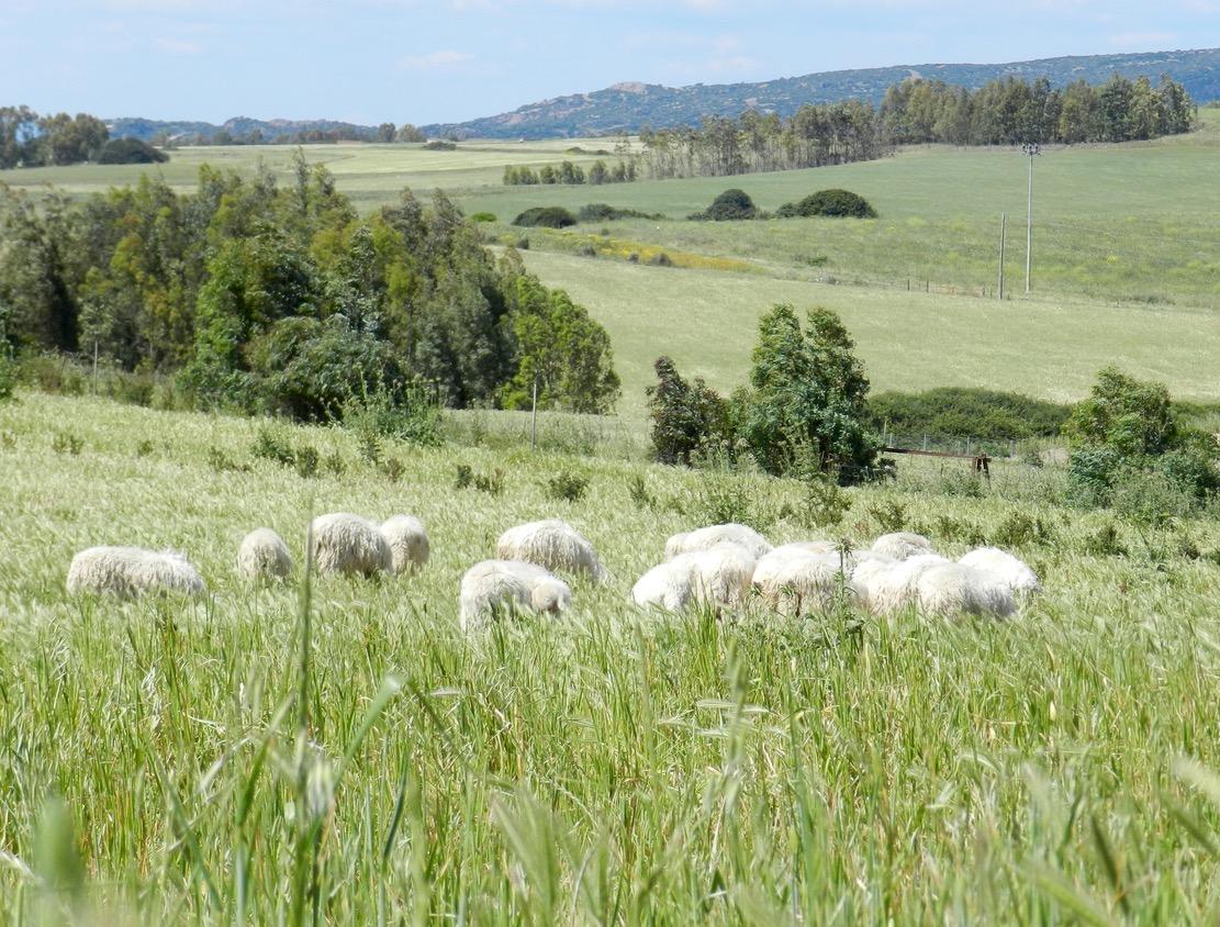 Wir wagen zu behaupten: glückliche Schafe