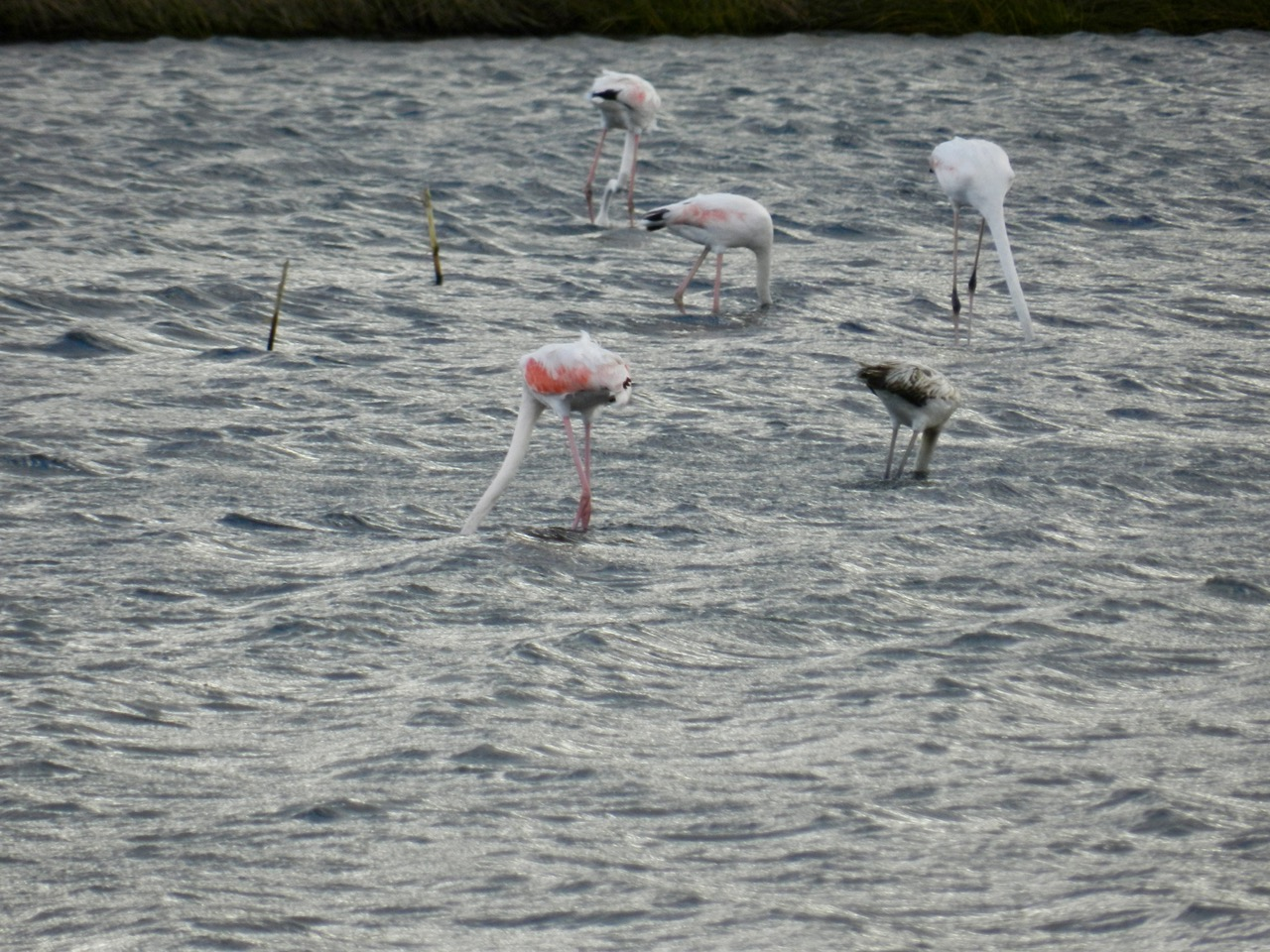Flamingos Le Saline