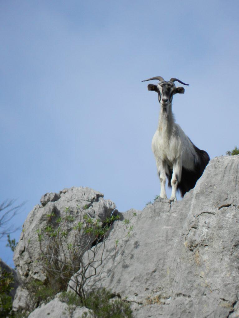 Ziegen gibt es reichlich im Supramonte. Der hier ist schon zu alt und entgeht dem Grill