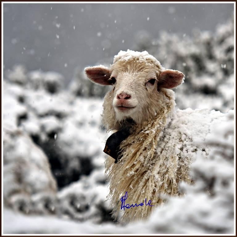 Frohe Weihnachten für alle Schafe!
