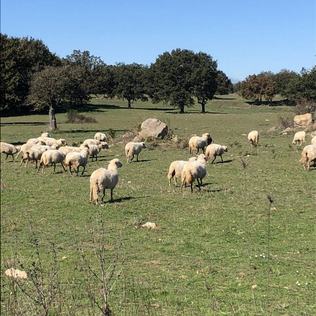 Schafe zwischen Mamoiada und Orgosolo: so ähnlich war das damals in Bethlehem wohl auch