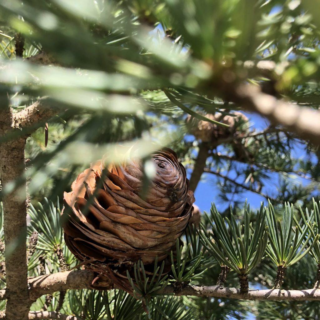 Vereinzelt findet man auf Sardinien noch Nadelbäume und Zapfen ...