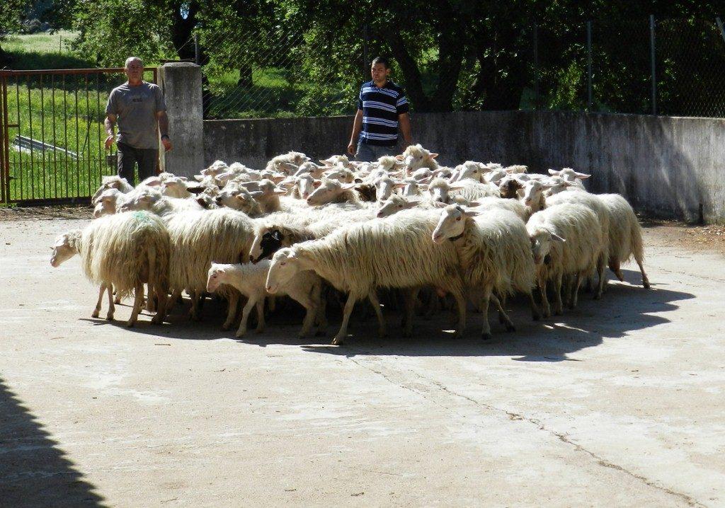 Tosatura, die jährliche Schafschur findet immer Ende Mai / Anfang Juni statt