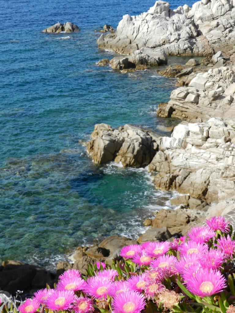Blühen im Mai: pinke Mittagsblumen am Meer