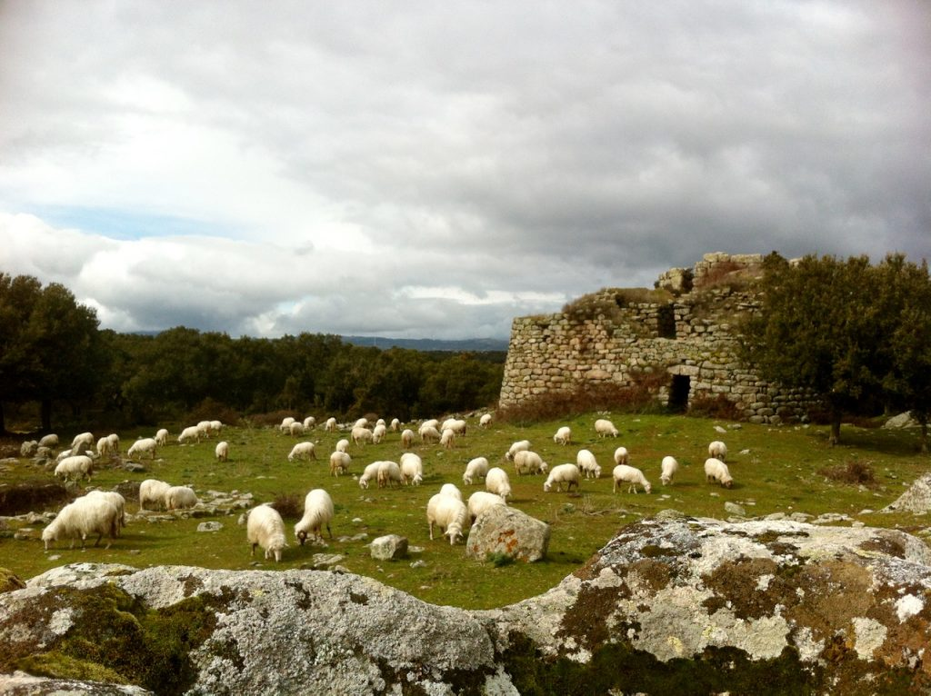 Schafe und Nuraghen gehörten lange Zeit zusammen - bis die Hirten aufbrachen und als Halbnomaden lebten.