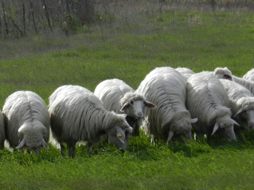 Schafe bei der Arbeit: Grasen, um Milch für den Pecorino zu produzieren