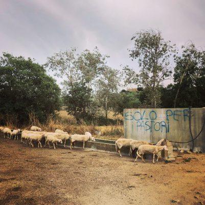 Schafe an der Tränke: nur für Hirten / solo per pastori - hier lebt die Transhumanz noch, wenn auch im Kleinen