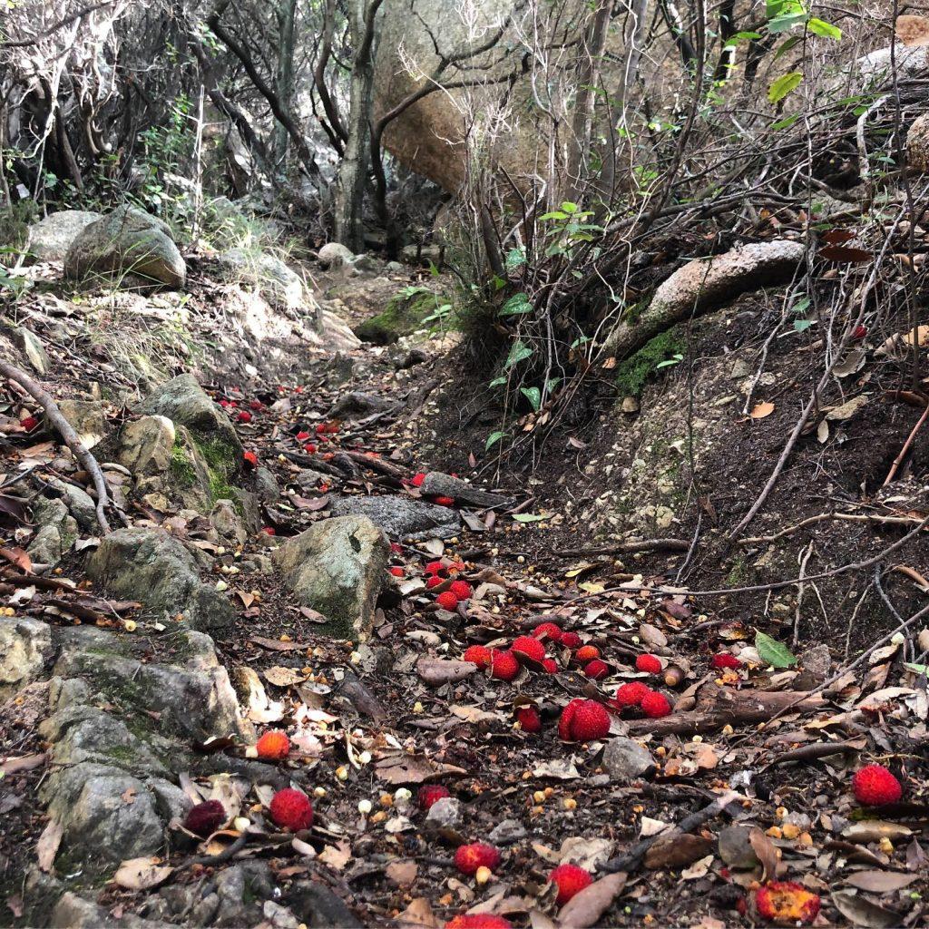 Einer roter Teppich aus Corbezzolo auf den Trekkingpfaden im Dezember