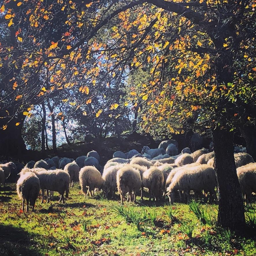 Glückliche Schafe in Mamoiada :)