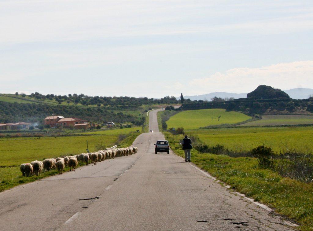 Kulturinteressierte Schafe auf dem Weg nach Barumini ...