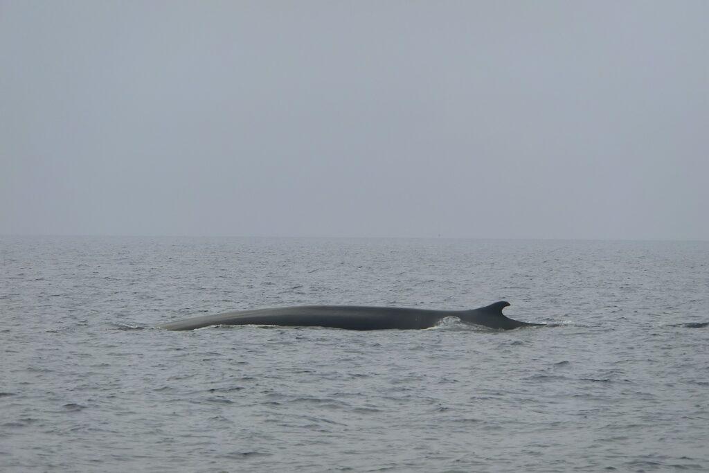 Ein Finnwal (balenottera comune) im Pelagos-Schutzgebiet. Wieviel Plastik hat er schon im Magen?
