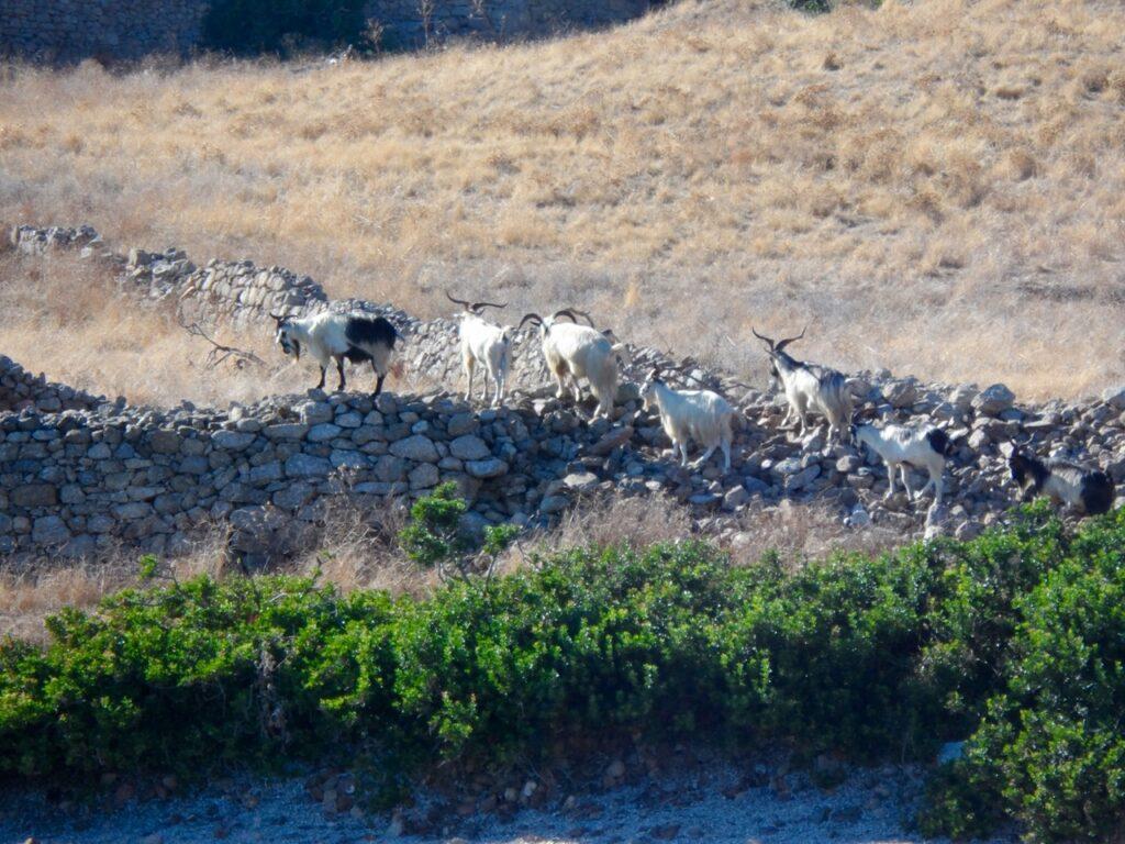 Für Ziegen noch okay - für Schafe und Kühe quasi unmöglich zu passieren: die sardischen Mäuerchen