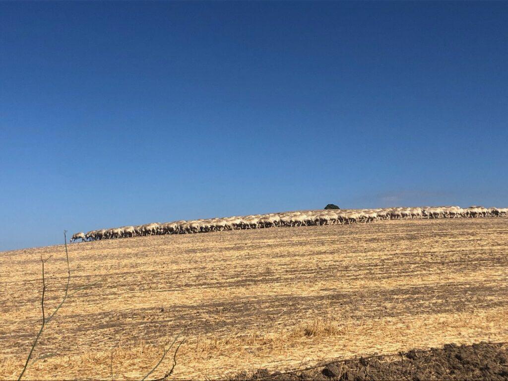 Assembramento!!! Mindestens zwei Schaflängen Abstand bitte!!!