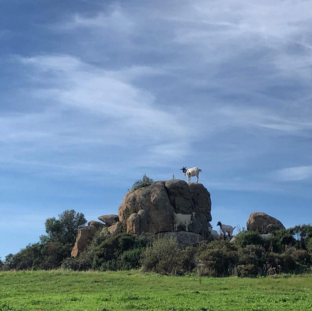 Gaaanz natürlich: Ziegen in der Gallura