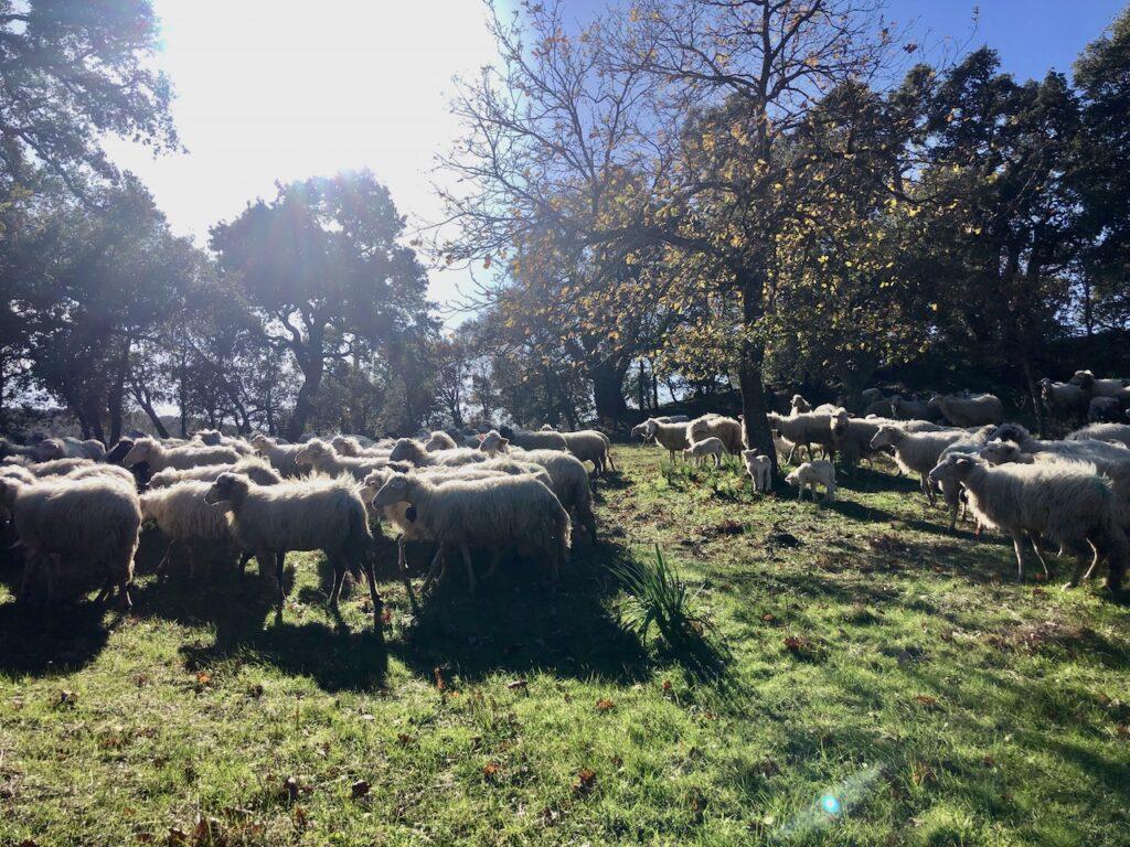 Glückliche Schafe in Mamoiada