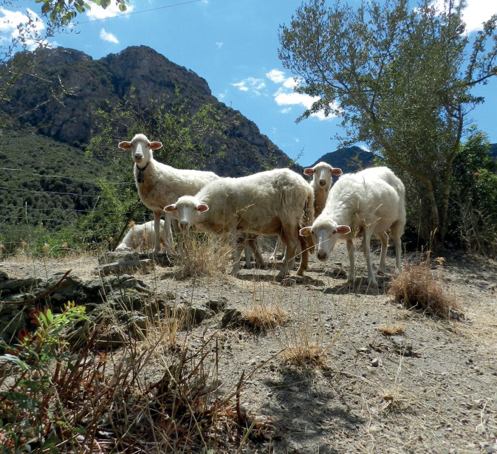 Sie stehen für den Neuanfang auf Sardinien: junge, gesunde Schafe